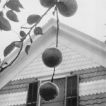 stieglitz_apples_and_gable